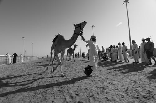 Бесплатное стоковое фото с арабские верблюды, Аравийский верблюд, верблюд, верблюды