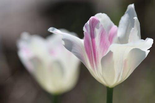 Free stock photo of flower, garden, nature, tulips
