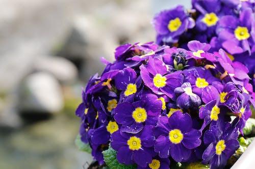 Free stock photo of flower, nature, purple