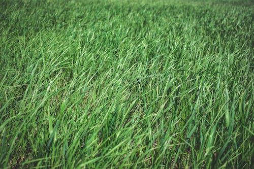 Безкоштовне стокове фото на тему «зелень, трав'яне поле»