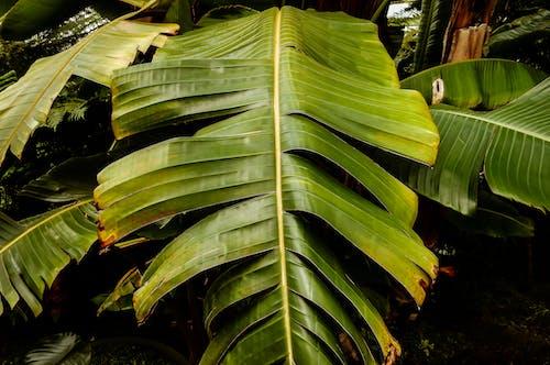 Fotobanka sbezplatnými fotkami na tému banánové listy, banánovník, dažďový prales, flóra
