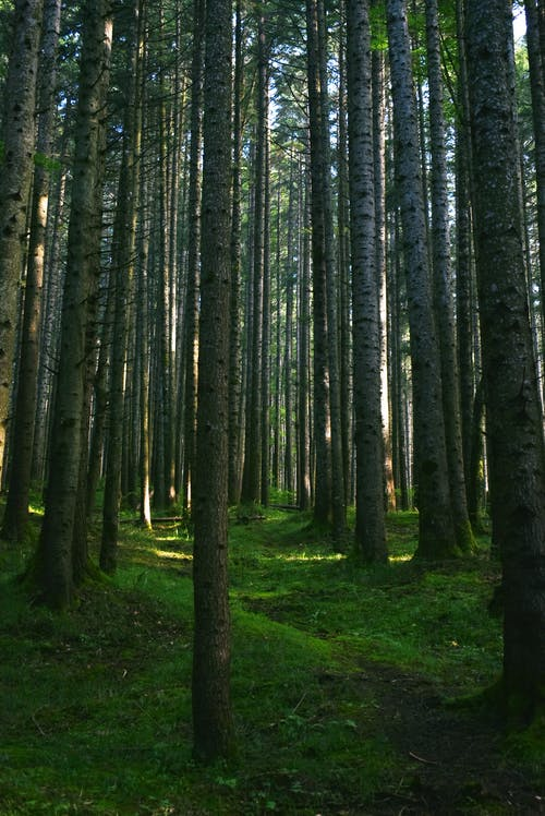 Rows of Trees in the Woods