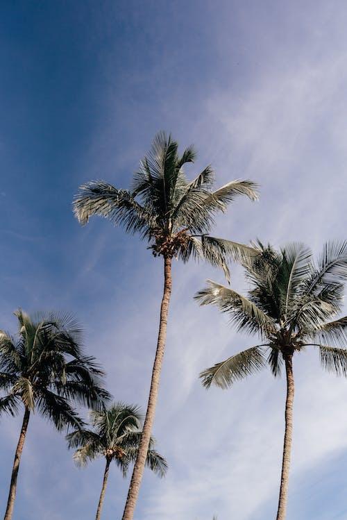 Foto d'estoc gratuïta de coco, cocoters