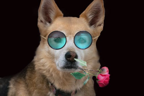 Free stock photo of dog, flower, pet, sun glasses