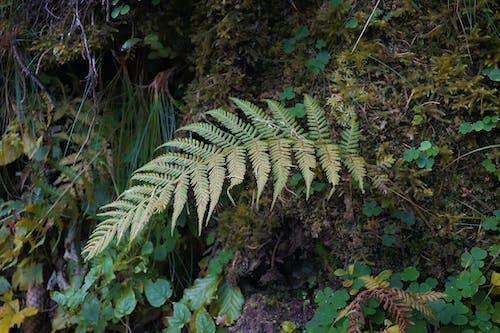 Free stock photo of fern, fern leaf, nature
