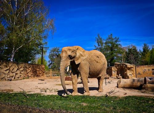 Free stock photo of elephant, zoo