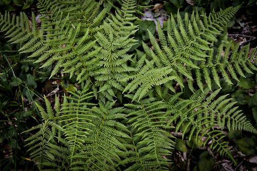 Free stock photo of fern, fern leaves, nature