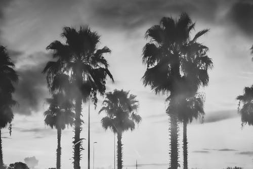 Free stock photo of black and white, dark, florida, palm trees