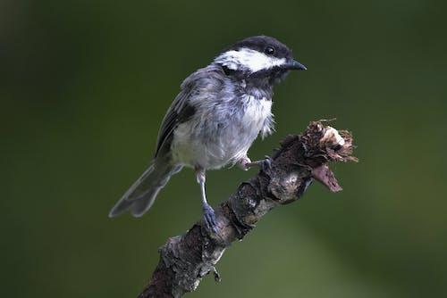 Foto stok gratis bertengger di dahan pohon, burung, chickadee hitam-capped, latar belakang hijau sedang