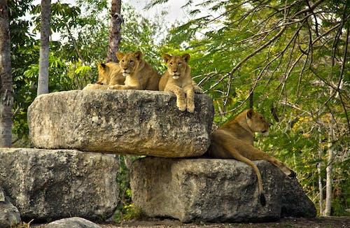 Free stock photo of Leons, Metro Zoo Miami