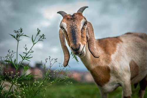 Free stock photo of animal, cute, domestic goat, farm