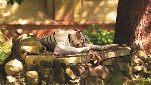 Бесплатное стоковое фото с белый тигр, бенгальский тигр, большой кот, дерево