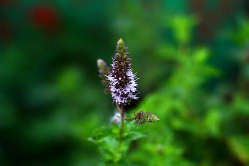 Foto profissional grátis de borrão, broto, flor, hortelã
