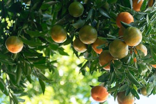 柑橘類水果, 橘子 的 免费素材照片