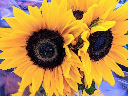 Immagine gratuita di girasoli, viola e giallo