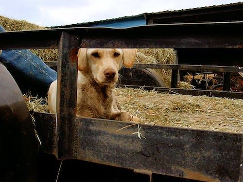 Ingyenes stockfotó johan bos kutya széna platós teherautó témában
