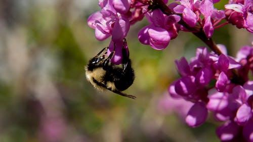 คลังภาพถ่ายฟรี ของ ดอกไม้, ผสมเกสรดอกไม้, ผึ้ง, สีชมพู