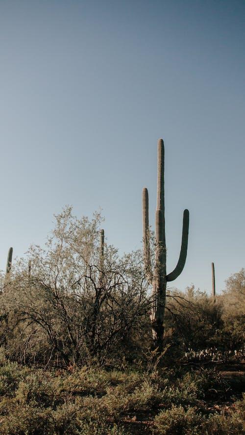 亞利桑那州, 仙人掌, 沙漠 的 免費圖庫相片