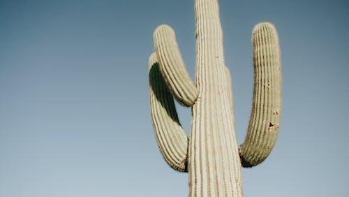 乾的, 亞利桑那州, 仙人掌, 刺 的 免費圖庫相片