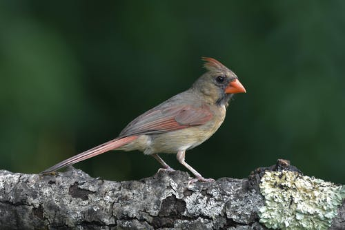 Foto stok gratis bertengger di dahan, burung, jarak dekat, kardinal utara wanita