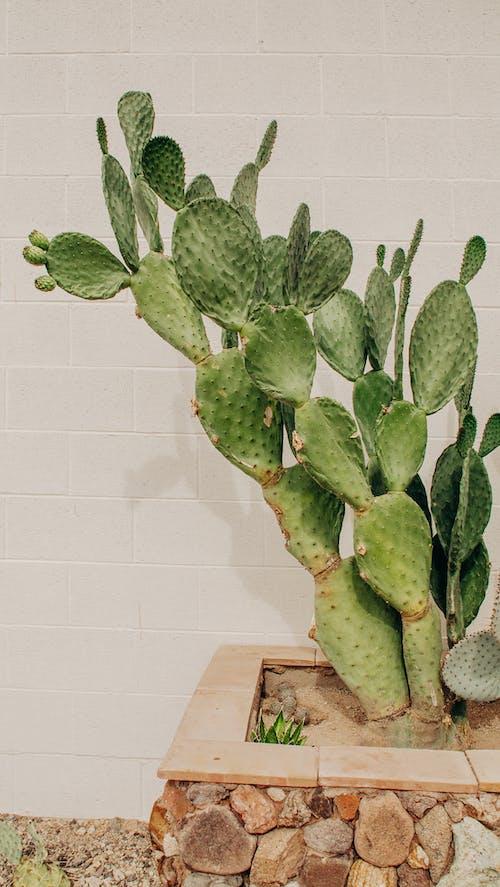 亞利桑那州, 仙人掌, 廠 的 免費圖庫相片