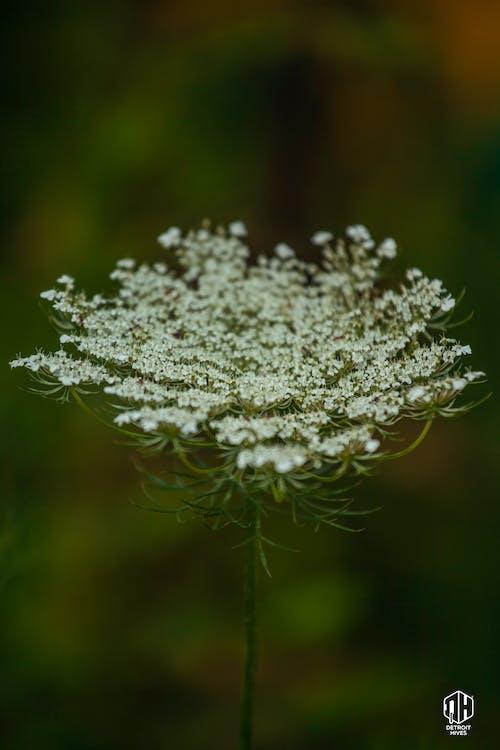 Δωρεάν στοκ φωτογραφιών με άγρια λουλούδια, άγριο καρότο, βασίλισσα anne lace, λουλούδια