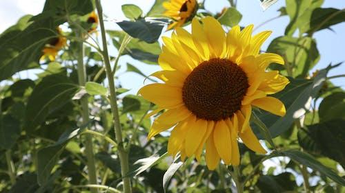 向日葵, 夏天, 天性, 綠色 的 免费素材照片