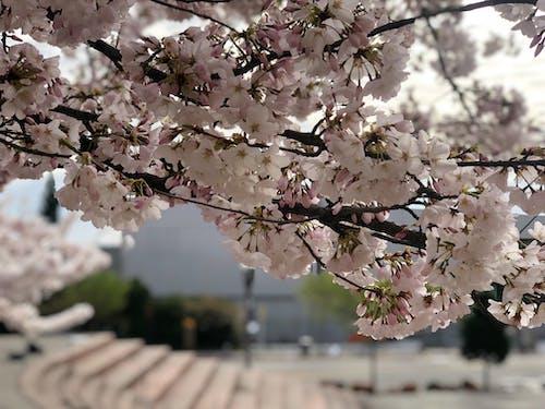 樹, 櫻花, 粉紅色 的 免费素材照片