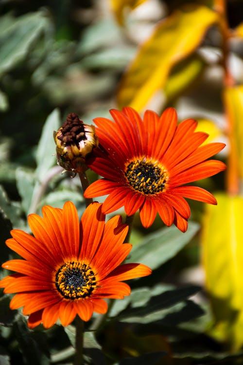 花, 花朵, 非洲雛菊 的 免費圖庫相片