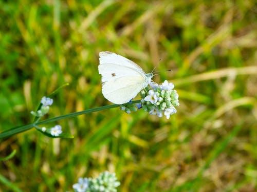 白蝴蝶, 盛開的薰衣草, 花上的蝴蝶, 蝴蝶 的 免費圖庫相片