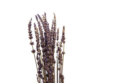 Photos gratuites de aromatique, couleur lavande, fleur, flore