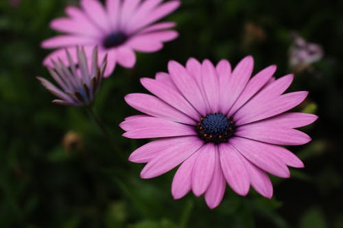 Blooming pink daisy in garden against greenery
