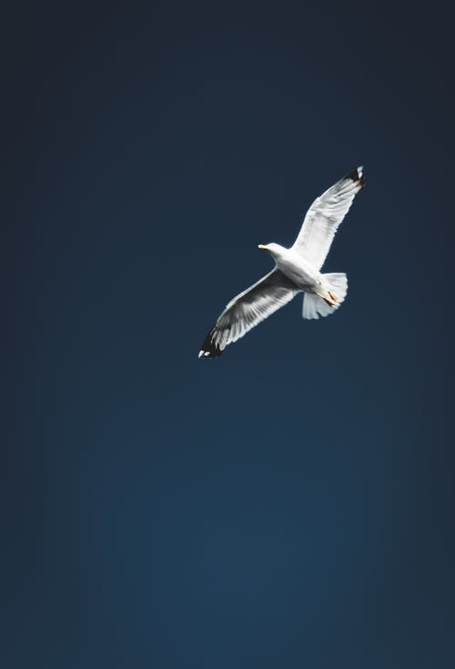 Gratis arkivbilde med blå himmel, fly, fugl, måke