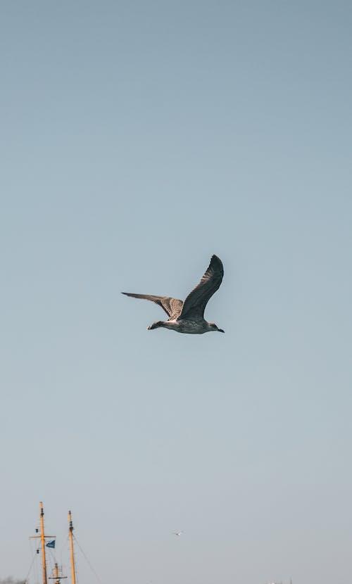 Imagine de stoc gratuită din cer albastru, în zbor, pescăruș