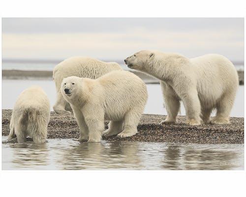 Ilmainen kuvapankkikuva tunnisteilla alaska, arktinen, jääkarhuja, pennut