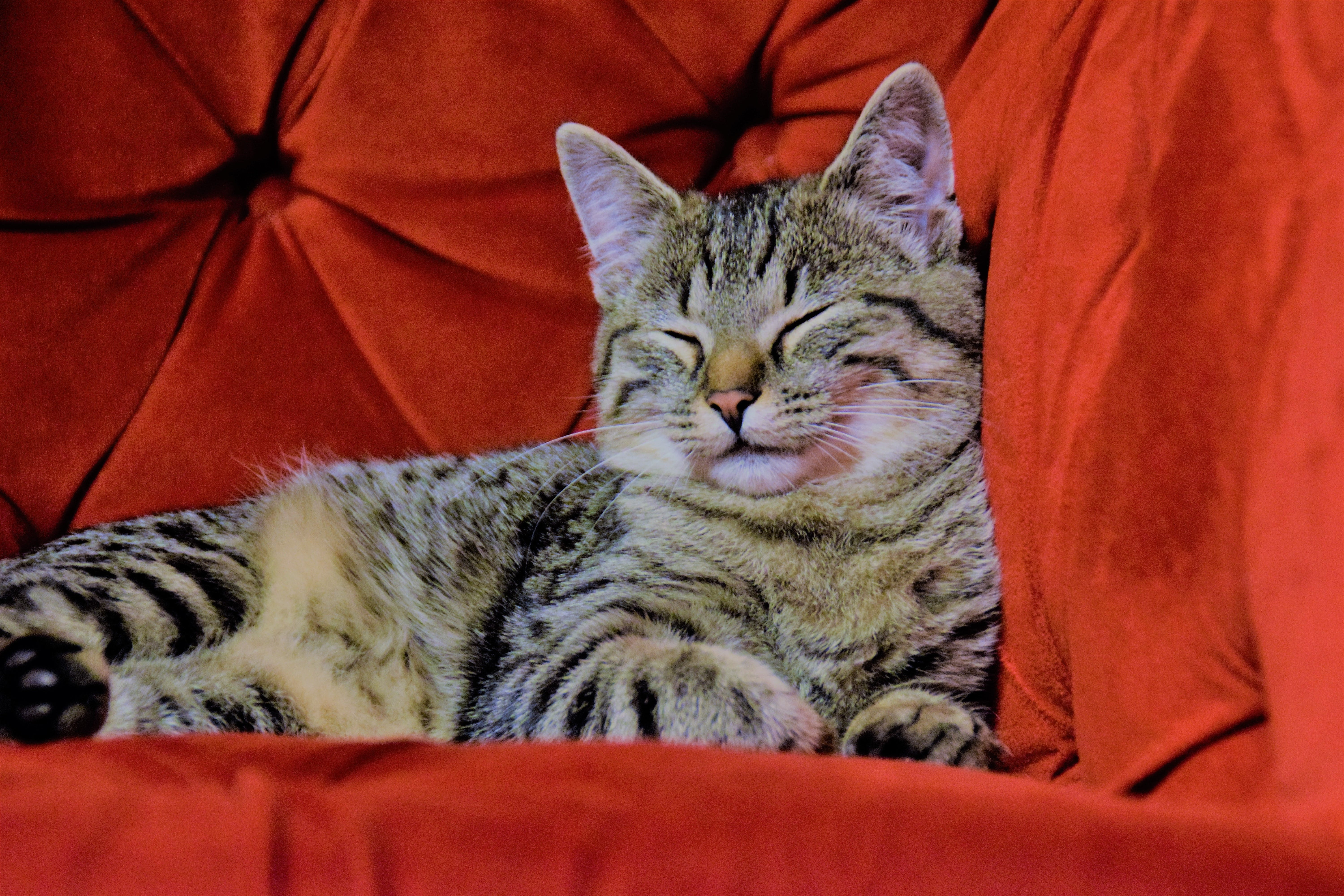 Free stock photo of adidas, cat, domestic cat, red chair