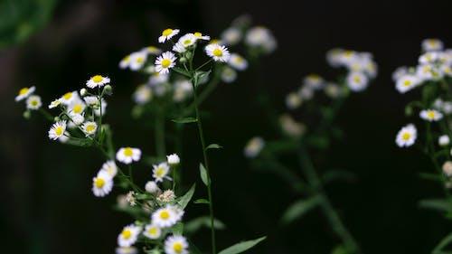 Darmowe zdjęcie z galerii z kwiaty, matricaria, mayweed, ogród