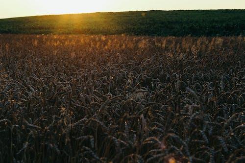 Free stock photo of susnset, wheat