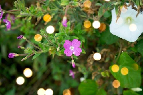 Immagine gratuita di fiore, rosa
