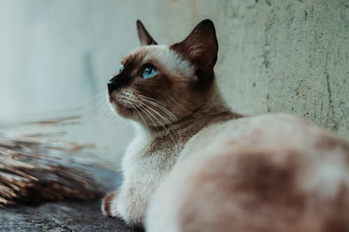 Brown and White Siamese Cat Beside Gray Wall