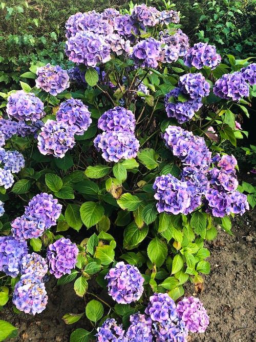 Foto d'estoc gratuïta de bonic, fons de pantalla de flors, hortènsia
