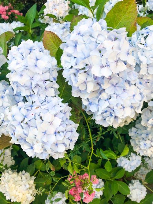 Foto d'estoc gratuïta de blau, flor bonica, fons de pantalla de colors, hortènsia