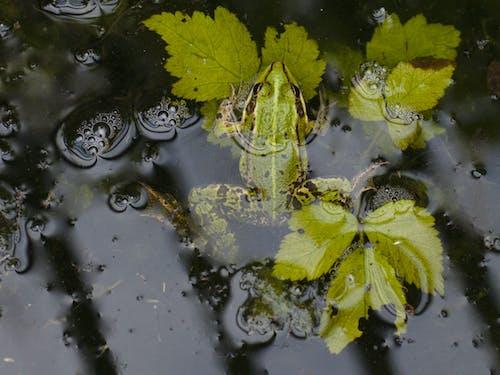 Ảnh lưu trữ miễn phí về ếch trong nước