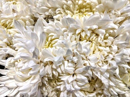 Immagine gratuita di fiori bianchi, petali bianchi