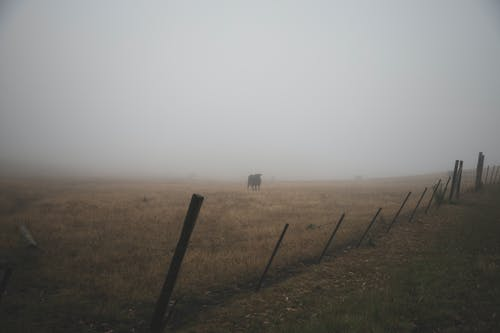Free stock photo of cow, field, fog