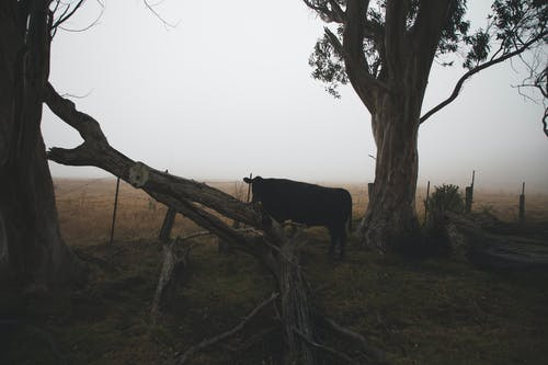 Free stock photo of cow, field, fog, hey