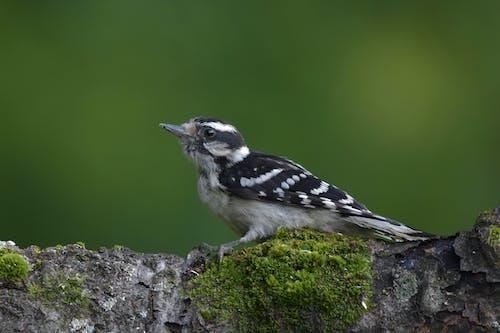 Foto stok gratis burung, burung pelatuk, hinggap di log. latar belakang hijau sedang., pelatuk downy