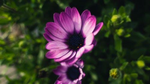 Darmowe zdjęcie z galerii z bokeh, dzień, fioletowy, gerbera