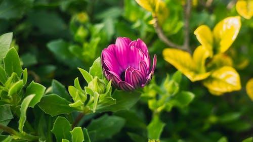 Darmowe zdjęcie z galerii z dzień, fioletowy, gerbera, kwiat