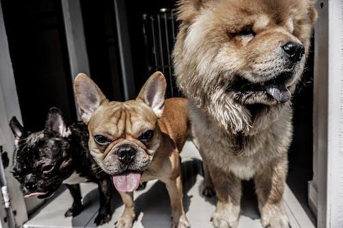 Безкоштовне стокове фото на тему «коричневий, собака, тварина, французький бик»